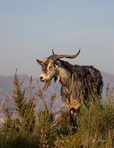 Andalusian Goat, Mijas Costa