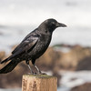 012317 Crow - Pacific Grove 003