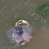 Red-eared Slider Mating Behavior 19