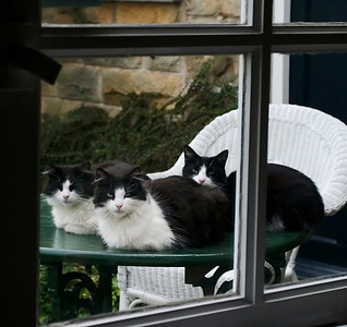 Three cats looking in the window