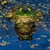 Frog Reflection