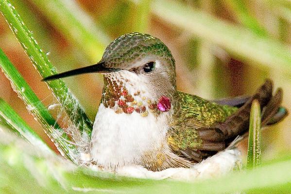 Backyard Hummingbird, Carlsbad, California