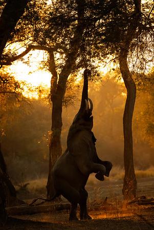 Standing elephant