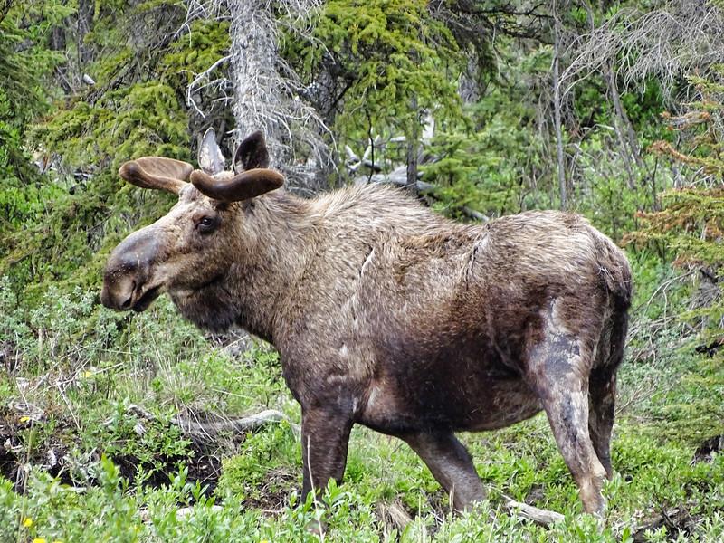 Bull Moose, Alaska