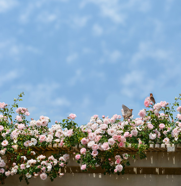 Birds sitting on blooming roses.