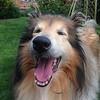Happy rough collie