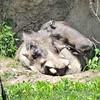 Warthog with babies