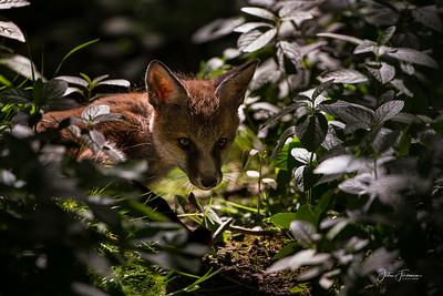 Fox cub, Suffolk