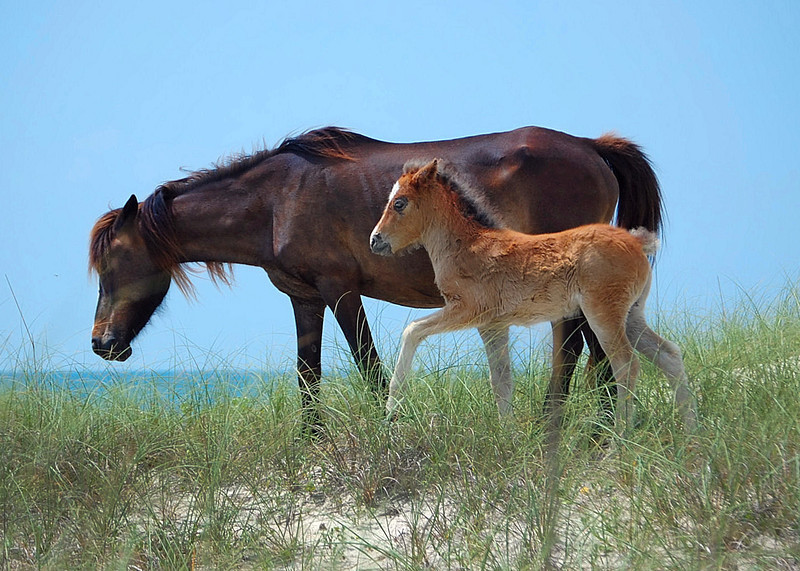 Wild Pony & Foal. Shackleford Island, NC. 2009