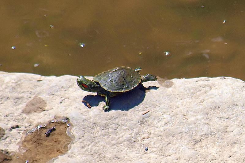 Teeny Tiny Turtle