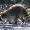 Raccoon On The Walking Path View 1