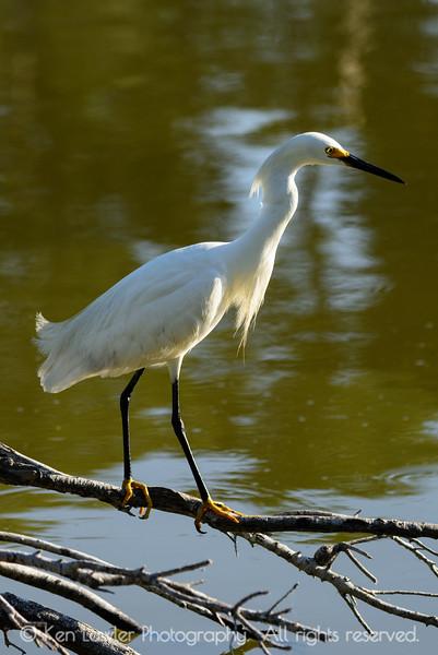 Snowy Egret craning