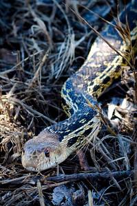San Diego Snake Long