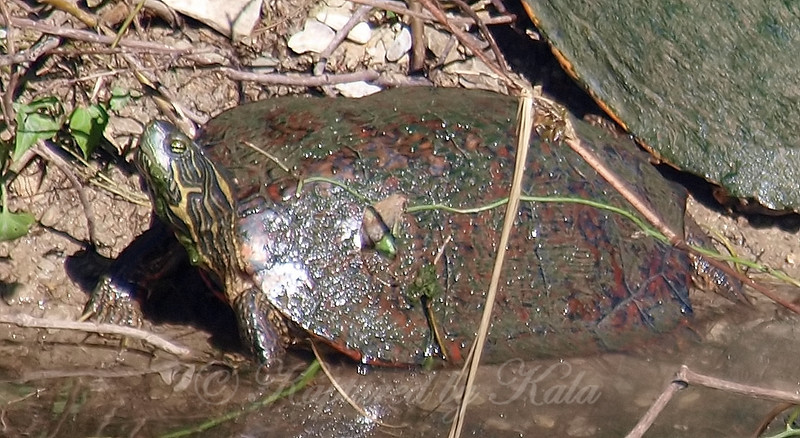 Unusual Turtle