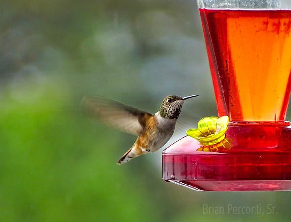 Hummingbird, Haines, Alaska