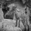 Taronga's Goats