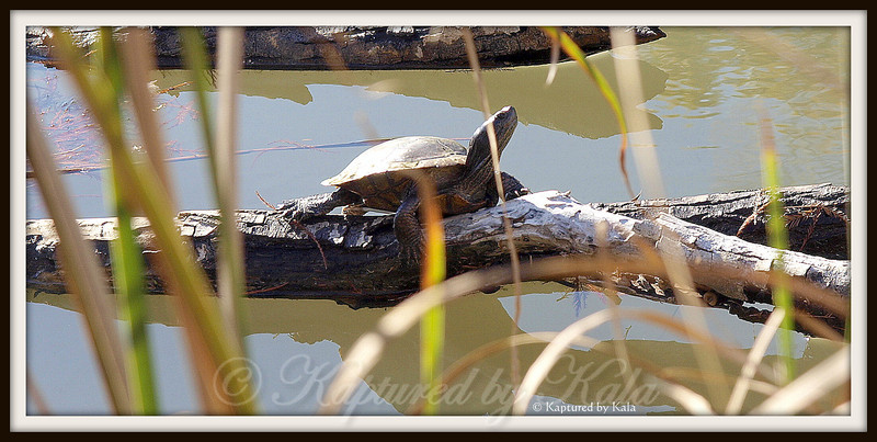 Turtle sunning on log at a pond along Stone Creek in Flower Mound