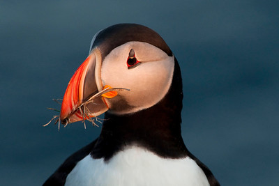 Puffin in the wild - Iceland