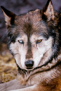 Portrait of a Wolf Number Three