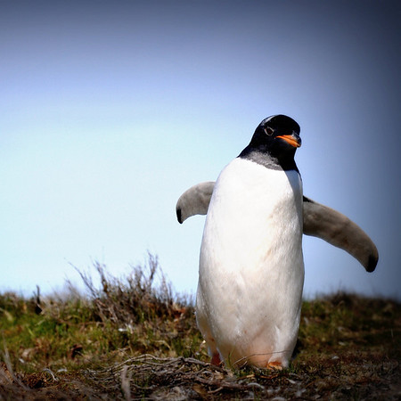 A wild gentoo penguin in the Falkland Islands
