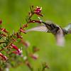 071617 NPC Garden - Hummingbird and Cuphea - Salinas 003 5x7L