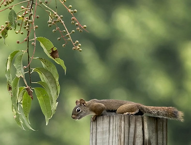 Squirrel on a post with leaves