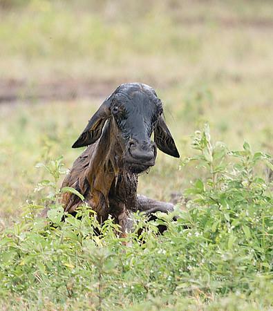 Newborn Wildebeest, Ngorongoro Conservation Area, Tanzania