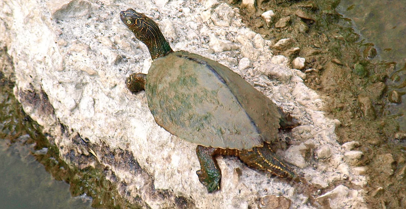 Big Male Mississippi Map Turtle