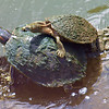 I Like Big Beautiful Lady Turtles