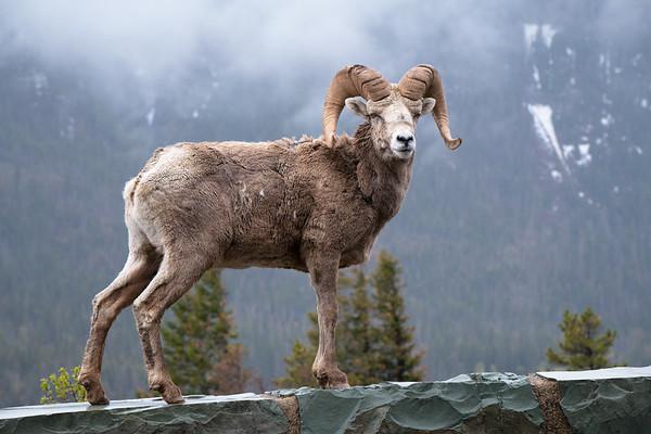 Smiling Ram || Glacier National Park