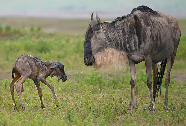 Just Born -- Wildebeest in Ngorongoro Conservation Area, Tanzania