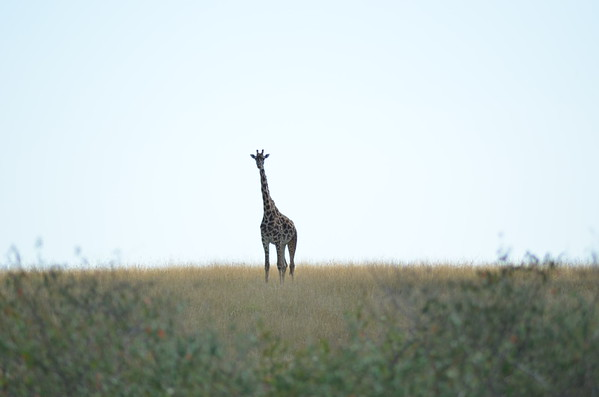 Plain Girafe