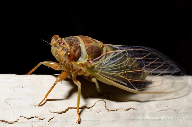 Young Cicada