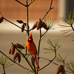 Beautiful red bird sitting on pine tree branch.