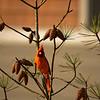 Beautiful red bird sitting on pine tree branch.