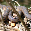 Female Diamondback Water Snake