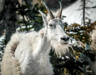 The Glacier Goat