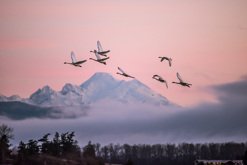 Trumpeter swans flying over cascade mountains