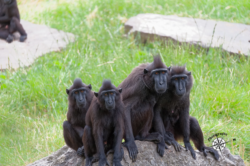 Crested Black Macaque, Dublin Zoo 2013