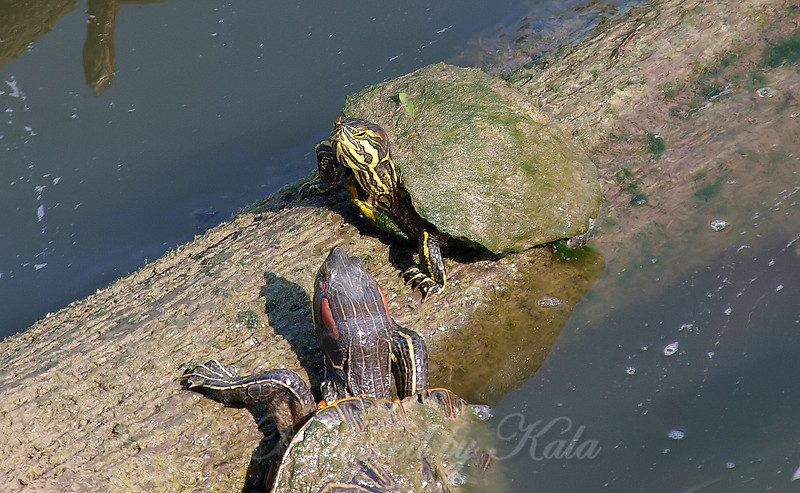 Cumberland Slider Hanging Out With A  Red-eared Slider