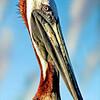 Pelican Character.