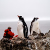 Gentoo penguins in Antarctic at thomasdolanphotography.com. Average Weight: 5.5kg - 12lb. Average Height: 71cm - 28 inches. Breeding Season: December - March. Estimated world population: - 387,000 breeding pairs, status not clear, may be decreasing or possibly increasing in the south of the range, there can be quite large year-to-year fluctuations in the population size. Colonies tend to be much smaller than other similar penguins, the largest has around 6,000 breeding pairs. <br /> Feeding: Opportunistic, krill, fish, squid, other crustaceans as available, tend to prefer feeding inshore near to the breeding colony. Conservation status: Near threatened. Distribution: Circumpolar, the most northerly of the 4 Antarctic species. 80% are found in three locations, the Falkland Islands, South Georgia and the South Shetland Islands and the Antarctic Peninsula. The last 25 years have seen significant changes in population sizes in particular locations either growth or decline, overall the population is becoming somewhat more southerly. Predators: Leopard seals and killer whales- main predators of adult birds. Skuas - prey on eggs and chicks. (coolantarctica.com)