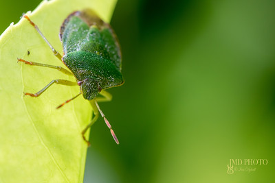 Green shield bug insect. Face and antenna selective focus close-up