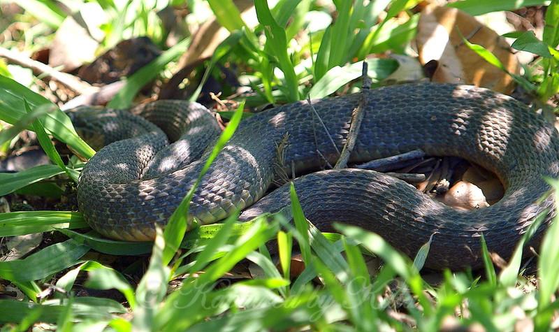 Plain-bellied Water Snake #2 Body View