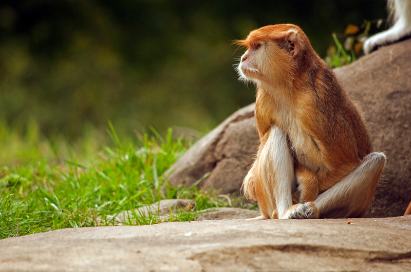 Female Patas Monkey (Erythrocebus patas)