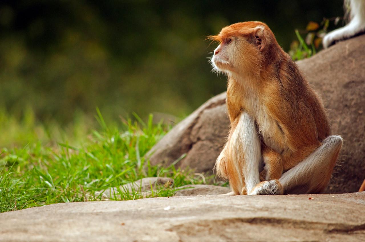Female Patas Monkey (Erythrocebus patas)