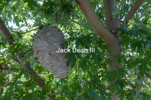 Bald Faced Hornet Nest