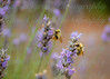 Lavender and Bumblebees