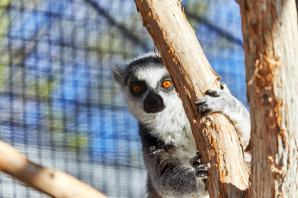 Ring-tailed Lemur looking out in the distance