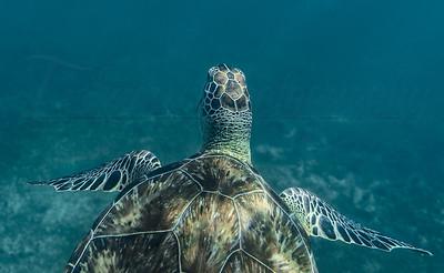 Wild Sea Turtle